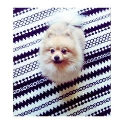 Iro, chien Spitz allemand