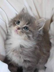Iroise, chat Norvégien