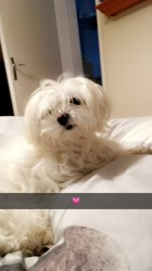 Iroise, chien Bichon maltais