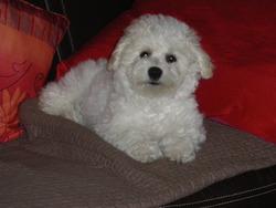 Iroise, chien Bichon à poil frisé