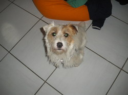Iroise, chien Jack Russell Terrier