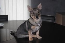 Irokwai, chien Spitz des Wisigoths