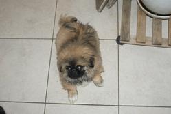 Iroman, chien Pékinois