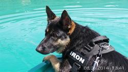 Iron, chien Berger allemand