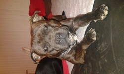 Iron, chien American Staffordshire Terrier