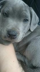 Iron , chien Staffordshire Bull Terrier