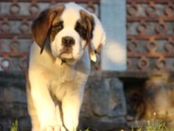 Iron, chien Saint-Bernard