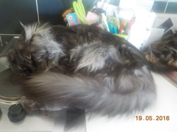 Iron, chat Maine Coon