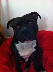 Iron, chien Staffordshire Bull Terrier