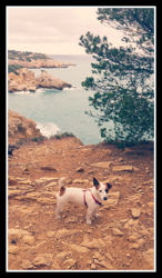 Iron, chien Jack Russell Terrier