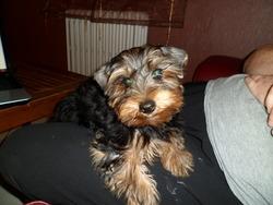 Iron, chien Yorkshire Terrier