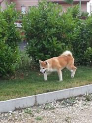 Iron, chien Akita Inu