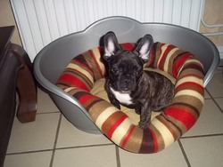 Iron, chien Bouledogue français