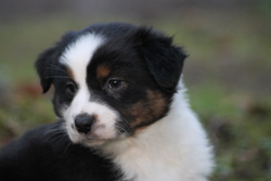 Iron, chien Berger australien