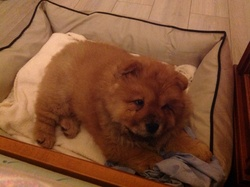 Iron, chien Chow-Chow