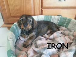 Iron, chien Teckel