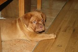 Iron, chien Dogue de Bordeaux