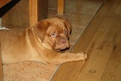 Iron, chien Dogue de Bordeaux