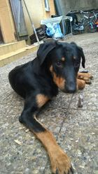Iron, chien Beauceron