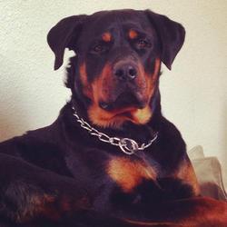 Iron, chien Rottweiler