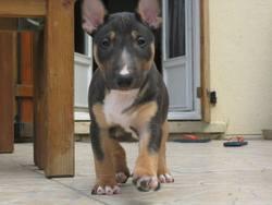 Iron, chien Bull Terrier