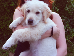 Iron, chien Golden Retriever