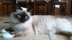 Iron, chat Birman