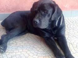 Ipsos, chien Cane Corso