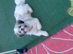 Iron, chien Lhassa Apso