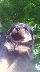 Lolita Von Der Wharen Kraft, chien Rottweiler