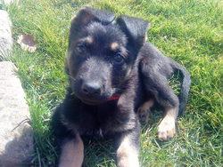 Iros, chien Berger allemand