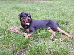 Iros, chien Rottweiler