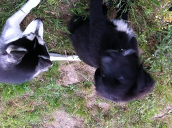 Iros, chien Flat-Coated Retriever