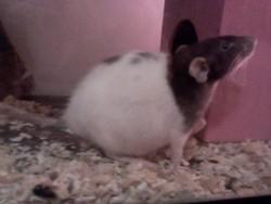 Irrespectueuse, rongeur Rat