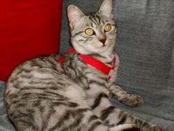 Irun, chat Européen