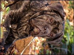 Irvana, chien Cane Corso