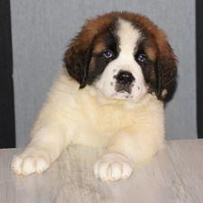Irvin, chien Saint-Bernard