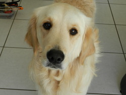 Iryna, chien Golden Retriever