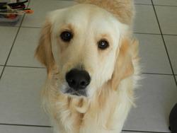 Iryna, chien Golden Retriever