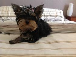 Irysse, chien Yorkshire Terrier