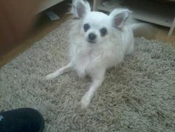 Isa, chien Chihuahua