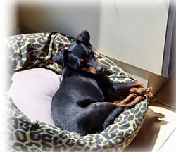 Isa, chien Pinscher