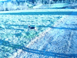Isa, chien Cairn Terrier