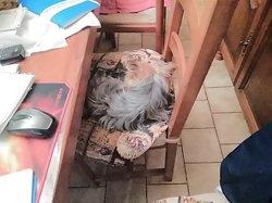Isaac, chien Yorkshire Terrier