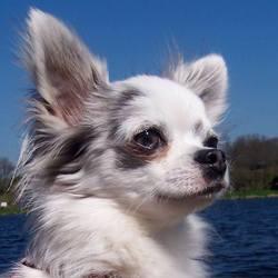 Isaac, chien Chihuahua