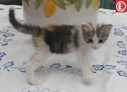 Isabella, chat Angora turc