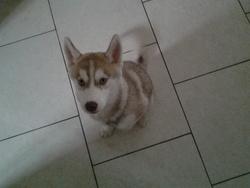 Isaline, chien Husky sibérien
