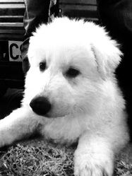 Isalis, chien Berger blanc suisse
