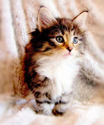 Isalyne, chat Norvégien