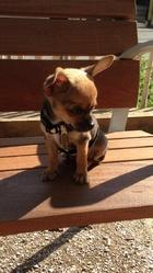 Isao, chien Chihuahua